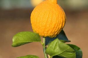 CitrusMedicaAurantiata Oscar Tintori agrumi, Hesperidarium, giardino degli agrumi, Pescia